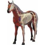 HM studio 4D Anatomický model Kůň