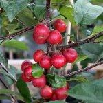 Malus ´Georgeous´ - okrasná jabloň