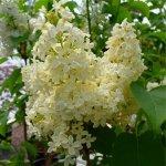 Syringa vulgaris Primrose (šeřík obecný)