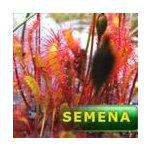 Masožravé rostliny - semena | Drosera anglica (Německo) - rosnatka anglická | 10 semen
