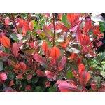 Blýskavka Fraserova 'Little Red Robin' - Photinia fraseri Little Red Robin