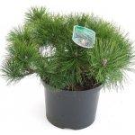 Pinus mugo Pumilio - borovice kleč