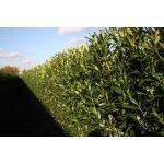 Bobkovišeň lékařská 'Herbergii' - předpěstovaný živý plot - Prunus laurocerasus Herbergii - předpěstovaný živý plot