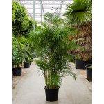 Areca Lutescens (chrysalidocarpus) 45x220cm