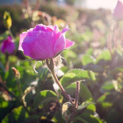Nadčasová růže