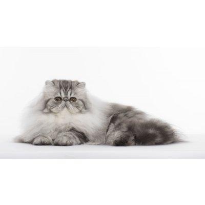 Ideální pro perské kočky