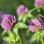 Ďatelina červená lúčna - Trifolium pratense - semiačka - 100 ks