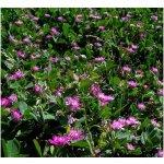 Ďatelina zvrátená - Trifolium resupinatum - semiačka - 100 ks
