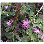 Ďatelina zvrátená - semená ďateliny - Trifolium resupinatum - 100 ks