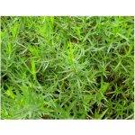 Palina dračia - Estragon - semienka Estragonu - rastlina Artemisis dracunculus - 500 ks