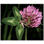 Ďatelina červená lúčná - semená ďateliny - Trifolium pratense - 100 ks