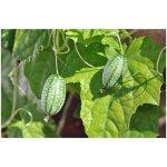 Mexická mini uhorka - Zehneria scabra - semiačka - 5 ks